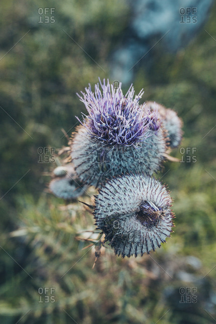 Purple thistle flowers in the Bjelasnica mountains in Bosnia and Herzegovina