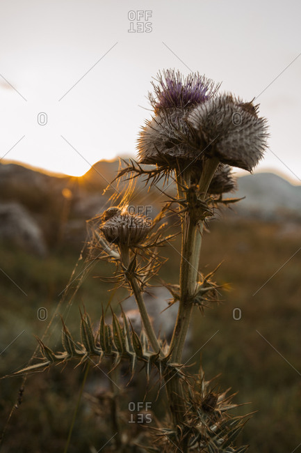 Purple thistle flowers in late summer in the Bjelasnica mountains in Bosnia and Herzegovina
