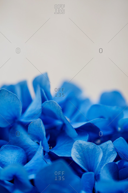 Blue hydrangea flowers close up with copy space