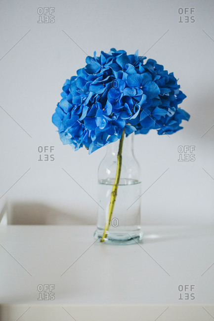 Blue hydrangea flower in a vase on the table close up