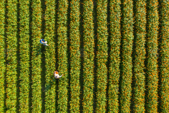 Aerial View Workers picking Marigold flowers in baskets, Bali, Indonesia.