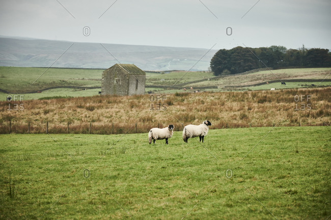 Two swale dale sheep surrounded by rolling fields and an old stone farm building