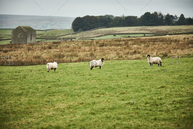 Three swale dale sheep in a field in the Yorkshire Dales with a farm building