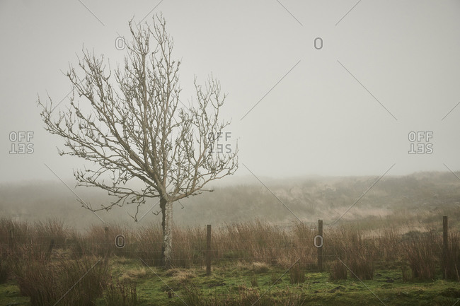 A wintery tree on the North York Moors in mist and rainy weather in England