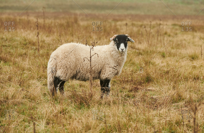 A swale dale sheep on the Moors in North Yorkshire in the rain