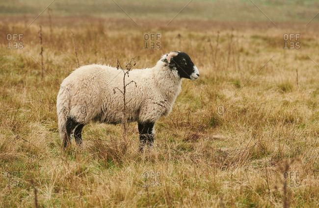 A swale dale sheep eating grass on the North Yorkshire Moors