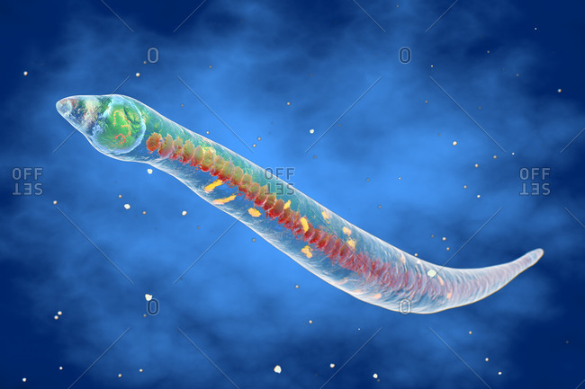 3d illustration of Strongyloides nematode