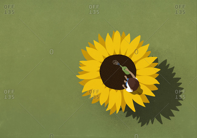 Young woman watering large sunflower on green background