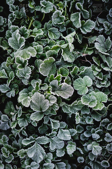 Close-up of frost covered plants
