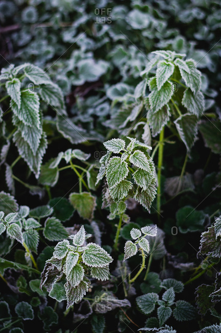 Frost covered nettle plants during winter