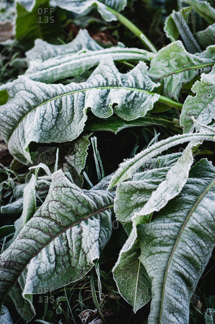 Frost covered leaves, close up