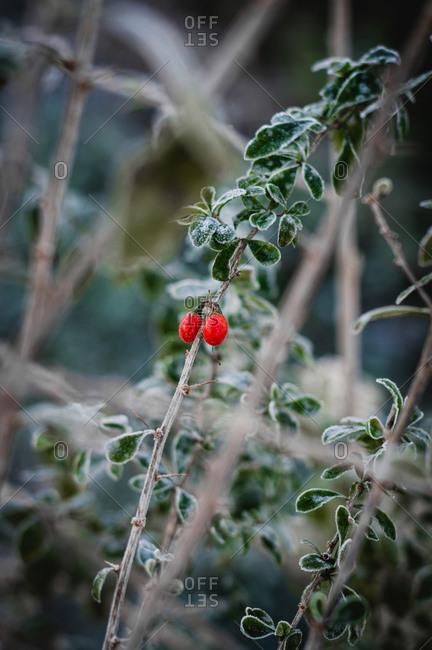 Frost on goji berry vine