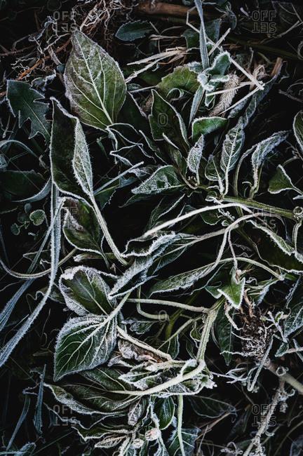 Frost on dead red pepper plants