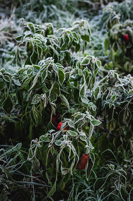 Frost on red pepper plant