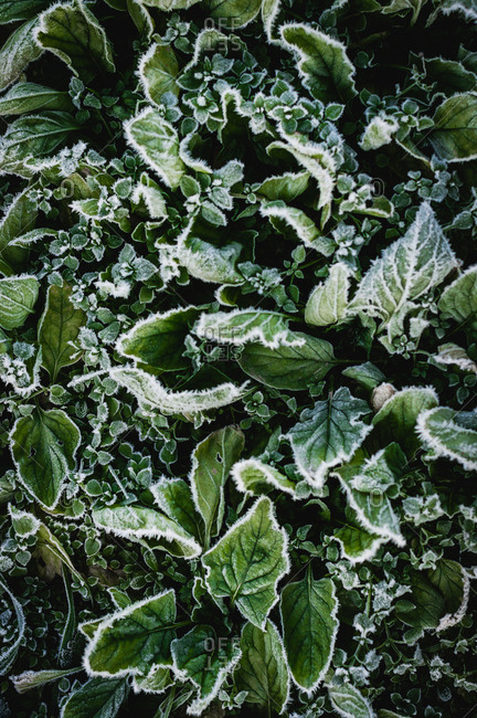 Frost on spinach in the garden