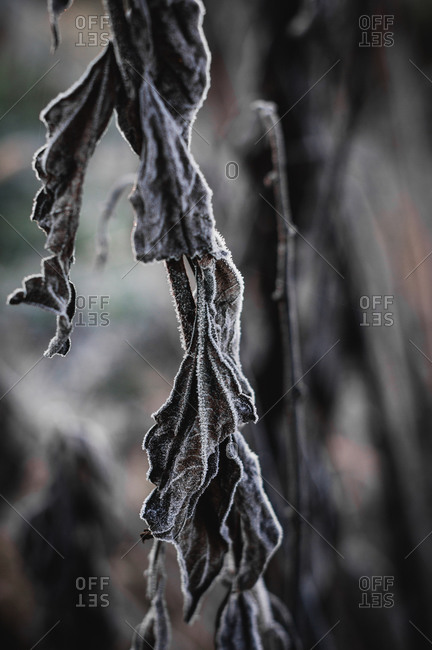 Dried plant covered in frost