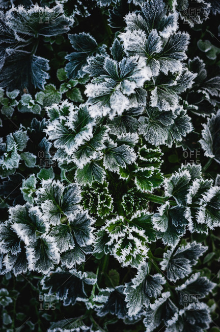 Frost on parsley in garden during winter
