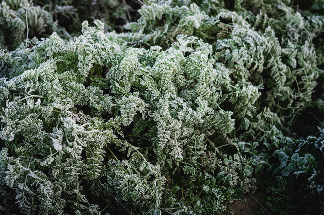 Frost on carrot leaf during winter