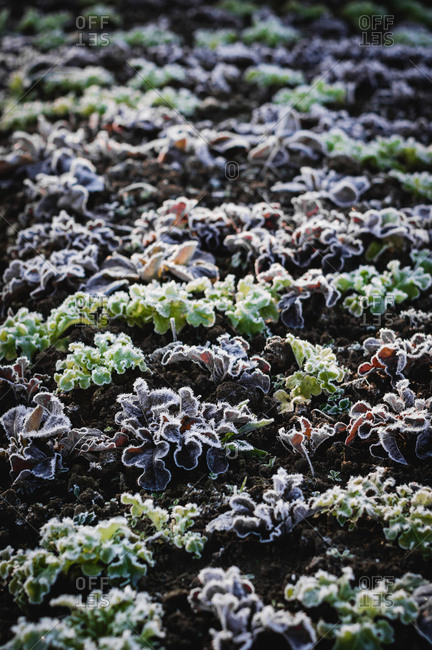 Frost on salad during winter in the garden
