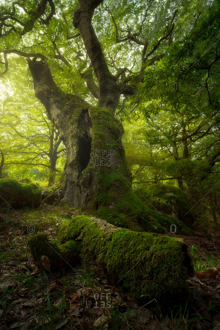 Low angle of huge tree covered with green moss growing in thick woods in iceland