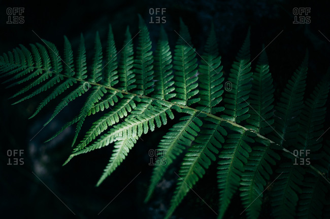 From above of long delicate dark green pinnas on long thin rachis of fern in forest in daylight