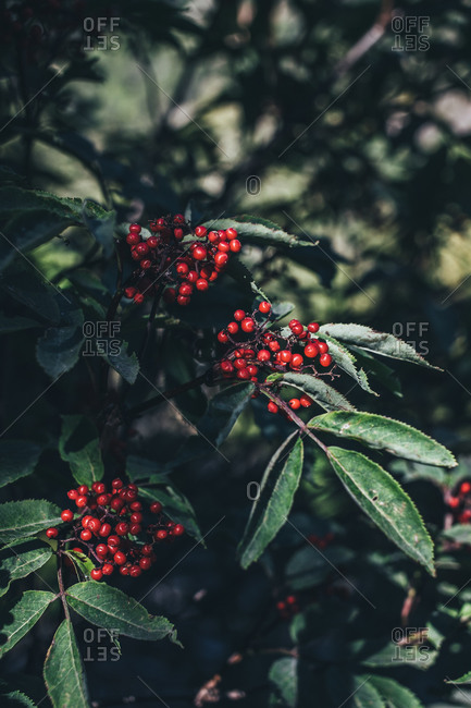 Red elderberry on branch of tree with dark green leaves in park in daylight