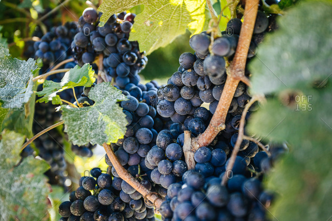 Bright bunches of fresh grapes growing on vine with thin twigs and spiky leaves on vineyard plantation