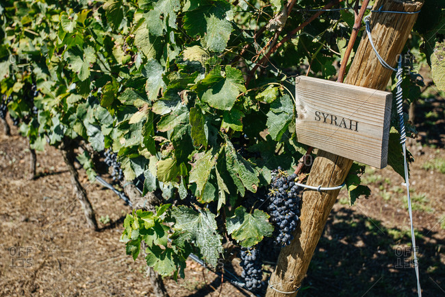 Bright bunches of fresh syrah grapes growing on vine with thin twigs and spiky leaves on vineyard plantation