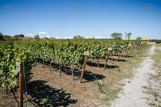Cultivation of bright greenery vineyards near narrow pathway and trees under colorful sky in countryside