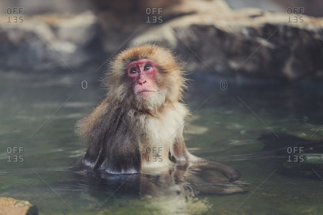 Cute fluffy japanese macaque sitting in clear water of pond in jigokudani monkey park in yamanochi and relaxing while looking away