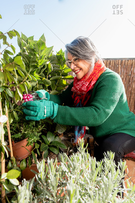 Side view content senior female in knitted green sweater and gloves cutting leaves of climbing plant growing on wall in sunny garden