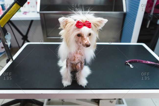 From above of cute attentive purebred dog with spotted skin and white fur with bow on head on grooming table