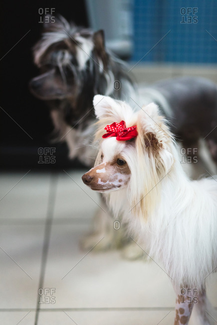From above of adorable fluffy purebred dogs with modern haircuts standing on floor while looking at camera