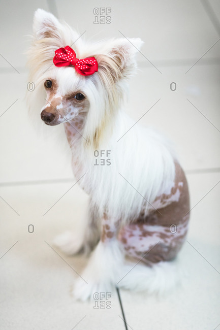 From above of adorable fluffy purebred dog with modern red bow standing on floor while looking at camera