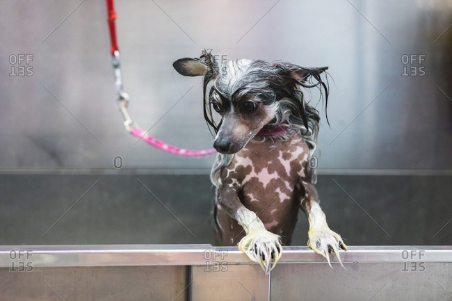 Adorable attentive purebred dog with wet fur and spotted skin standing in metal bath during hygiene procedure in salon and looking down