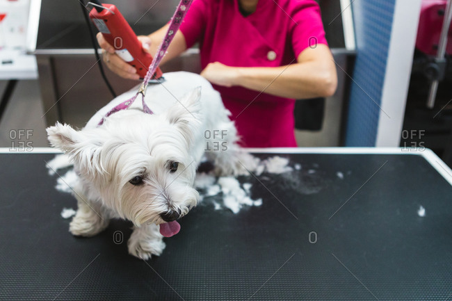 From above of crop female groomer in eyeglasses and uniform using trimmer during procedure with fluffy dog on grooming table