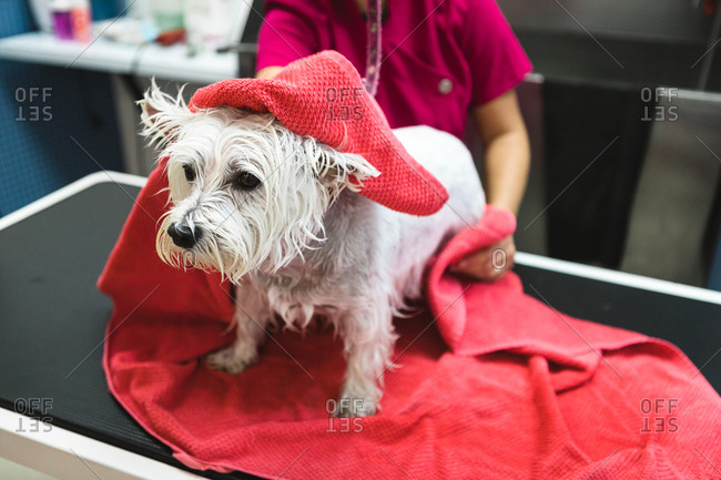 From above of crop unrecognizable canine hairdresser drying small dog with bright towel after taking shower in salon