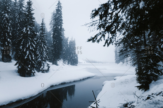 Tranquil narrow river with dark water flowing through snow covered forest with spruce trees in foggy winter day