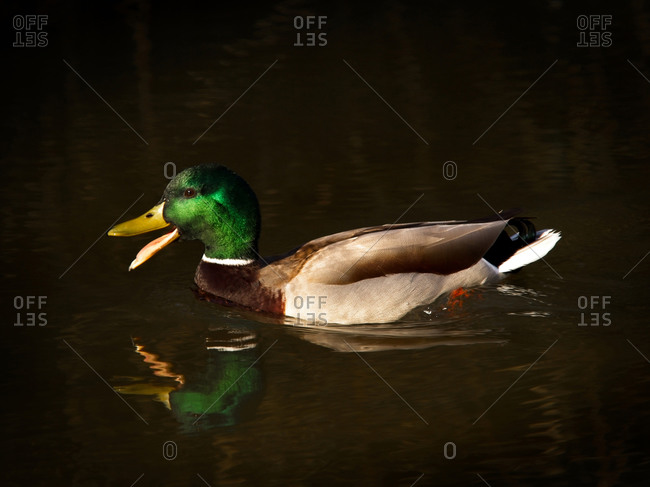Mallard duck swimming at sunrise