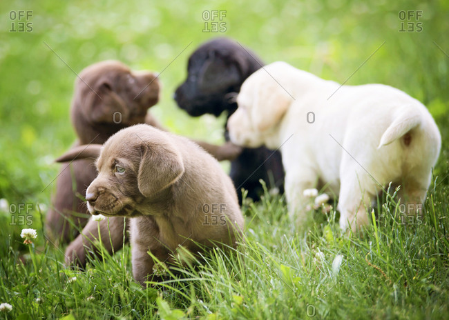 Lab puppies playing in grass