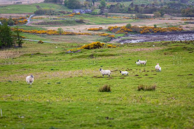 Sheep in a rugged coastal field