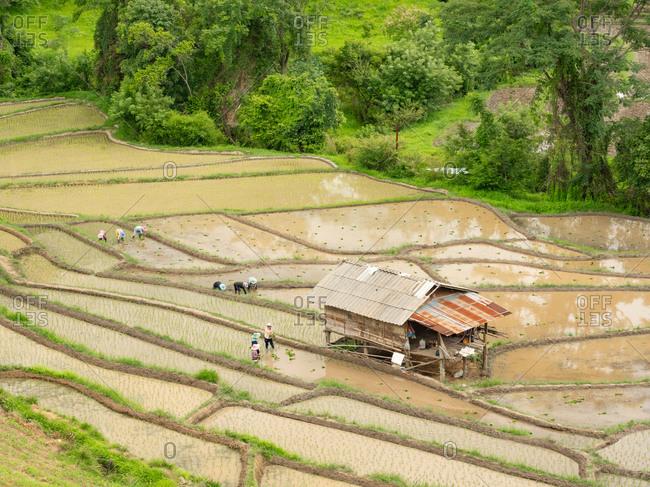 Farmer working in the rice field