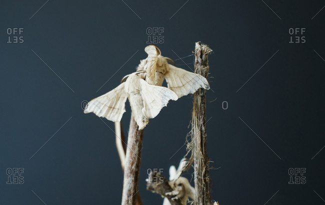 Close-up of silkworm butterflies fecundating on the branches of