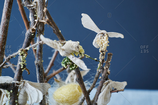 Close-up of silkworm butterflies laying eggs on the branches of a plant. nature concept