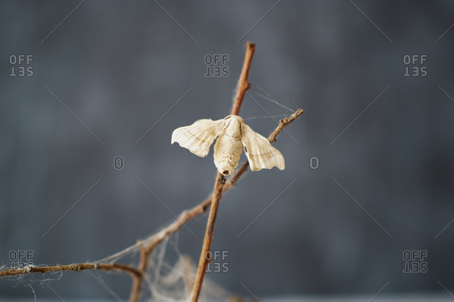Close-up of silkworm butterflies on the branches of a plant. concept of nature