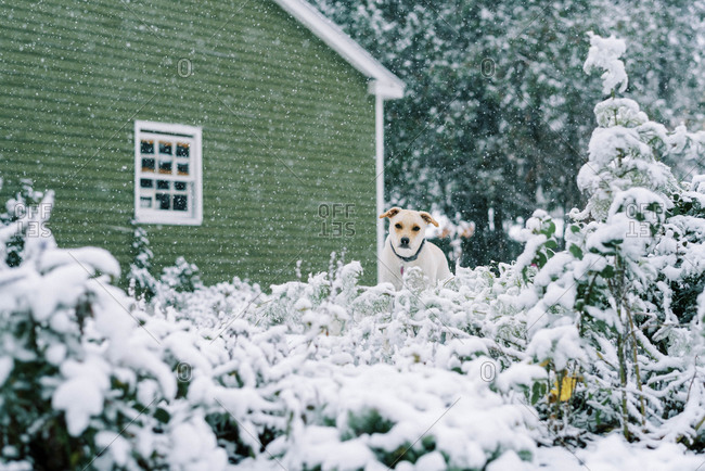 A little dog peeking at the camera during a snowfall in the garden