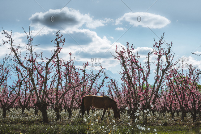 Horse grazing on farm in spring with pink trees
