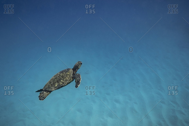 Sea turtle swimming through clear blue Hawaii waters