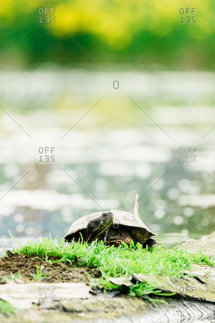 Straight on view of a turtle