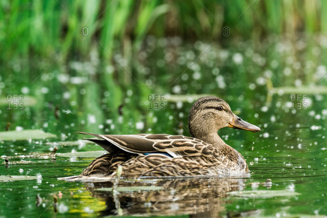 Side view of a female mallard duck swimming across Lake Washington